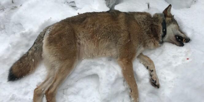 Prøvde å stoppe omstridt jakt - på mindre enn to timer var to ulv skutt