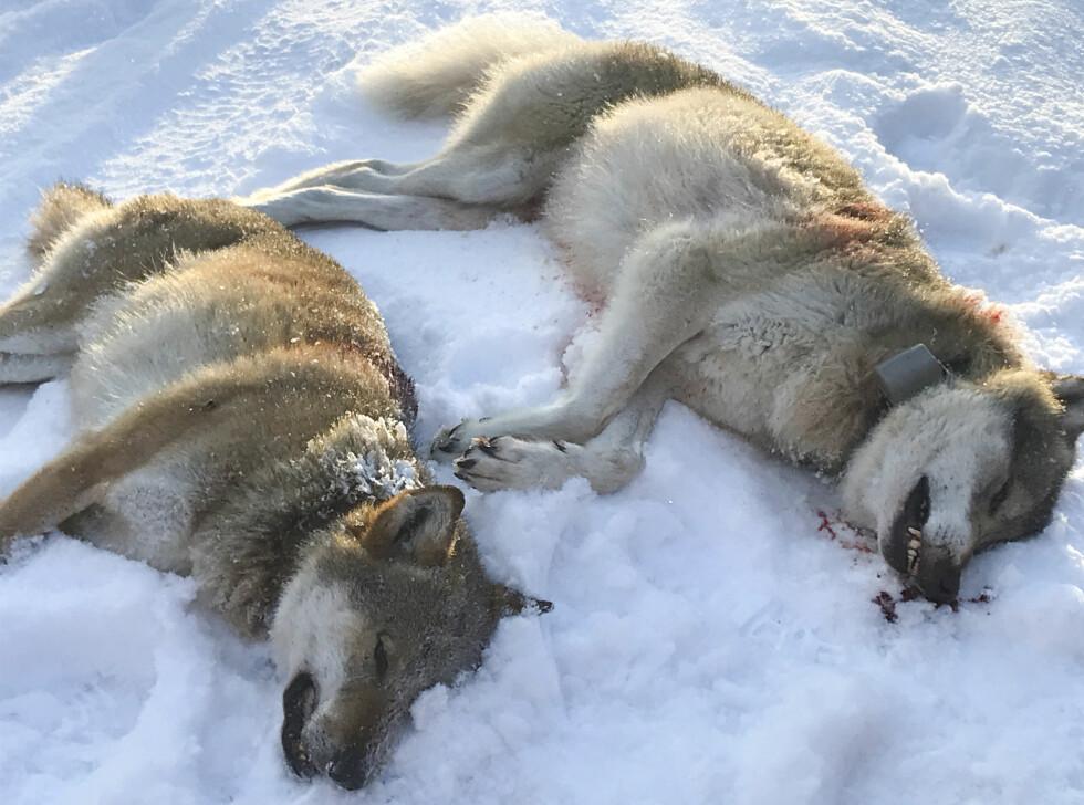 DE TO FØRSTE: Første nyttårsdag ble to ulver i Slettås-flokken skutt få timer etter at den omstridte jakten startet klokka 10.00 i Trysil. Totalt har departementet sagt ja til å felle 29 ulv, tre av dem innenfor ulvesonen. Om lag 130 jegere deltar i jakta. Foto: Ole Martin Norderhaug / NTB Scanpix
