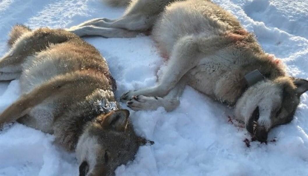 <strong>FELT:</strong> Her to ulver som ble skutt 1. januar i Trysil i Hedmark. Foto: Ole Martin Norderhaug