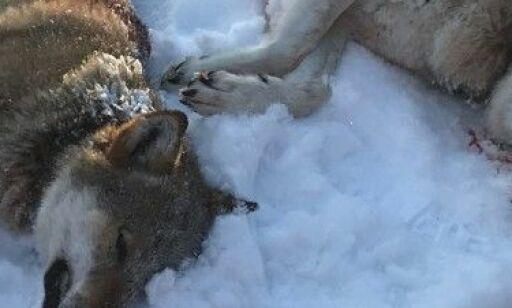 image: Advarer mot hestehandel om ulv - Det finner jeg meg ikke i
