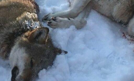 image: Ulvemotstander i Høyre til angrep på ledelsen