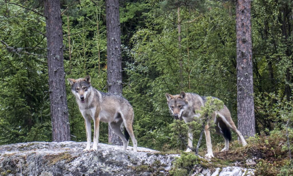 STABILE FAMILIER: Når en flokk forsvinner øker det sjansen for enslige streifulv fra Sverige. Det er stort sett disse som tar beitedyr. Å skyte stabile ulvefamilier hjelper lite, skriver innsenderen. Foto: NTB Scanpix