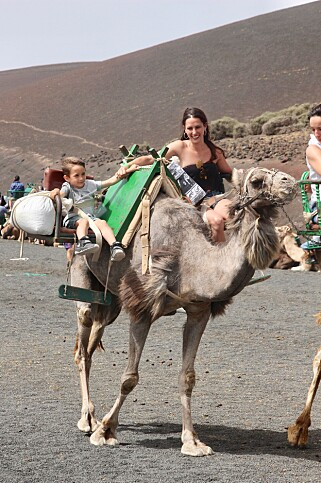 Kameltur: Kamelsafariene gjennomføres daglig på Lanzarote. Foto: Odd Roar Lange/The Travel Inspector