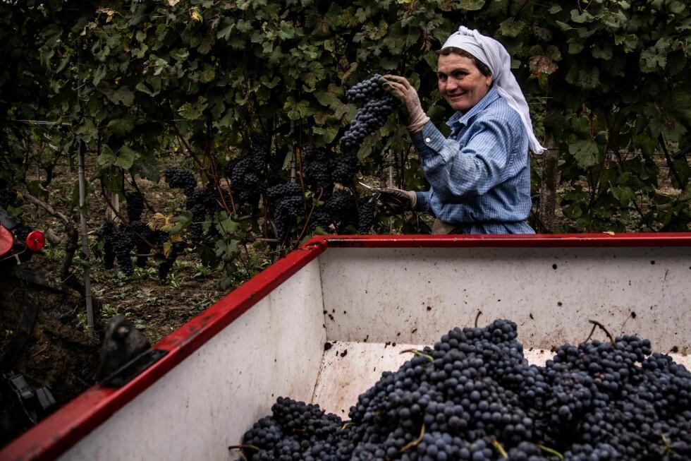 FJORÅRETS NEBBIOLO: Rødvinen fra Barolo og Barbaresco er utelukkende laget på nebbiolodruer. Her høstes nebbiolodruene på vinmarkene i Barolo, i nærheten av Alba, nordvest i Italia, på en klar dag i oktober i fjor. Foto: Marco Bertorello / AFP / NTB scanpix