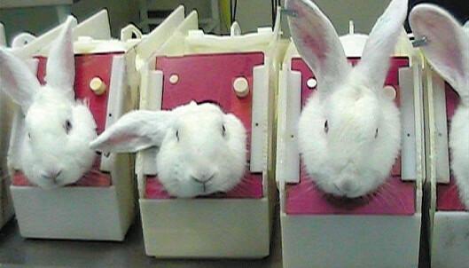 DYRETEST: Disse kaninene får dryppet stoff i øynene, noe som kan forårsake store smerter, sier Dyrevernalliansen. Foto: One voice