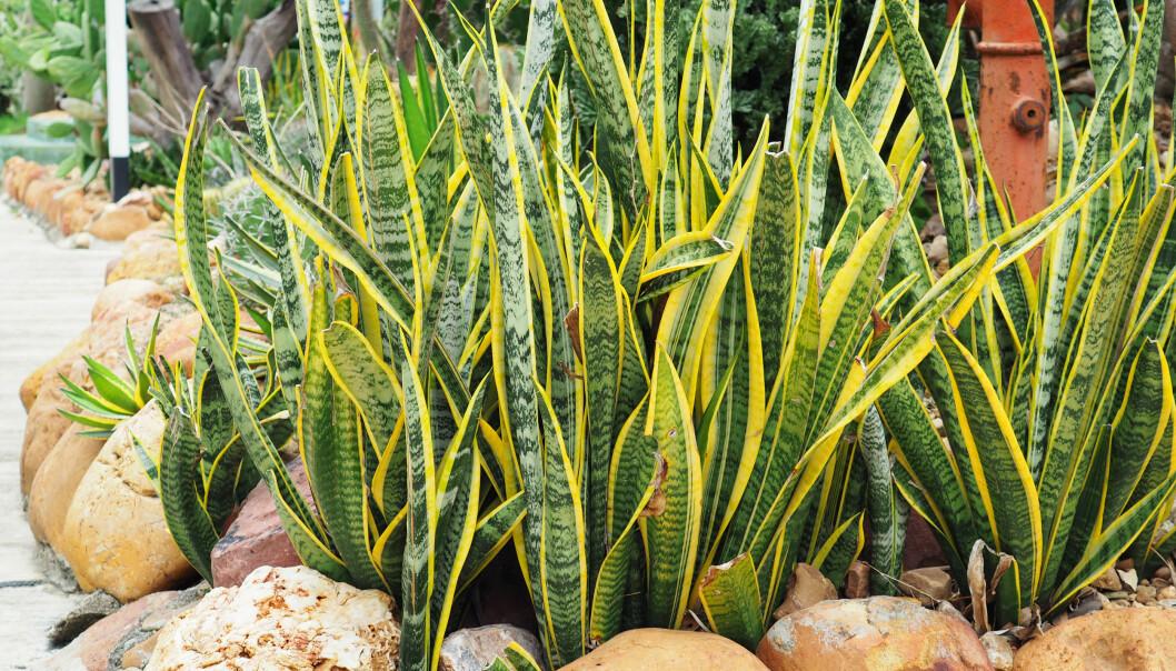 <strong>SVIGEMORS TUNGE:</strong> Planten har fått sitt navn etter formen på bladene og trenger lite vanning. Foto: Shutterstock