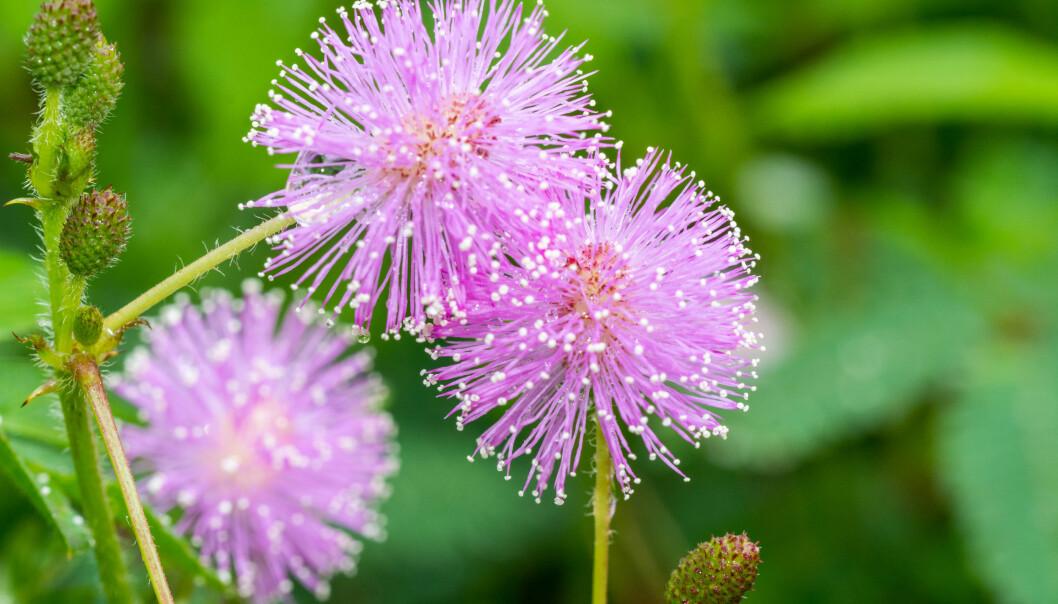 <strong>SANSEPLANTE:</strong> Denne planten rører på seg hvis du er nær den. Foto: Shutterstock
