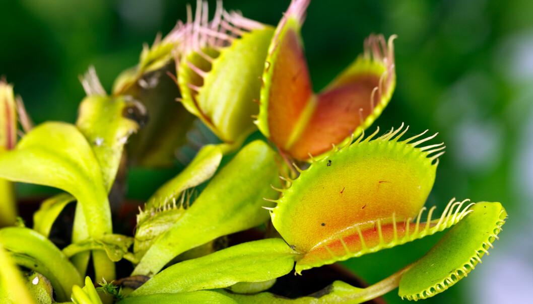 <strong>VENUS FLUEFANGER:</strong> Krever grønne fingre. Foto: Shutterstock