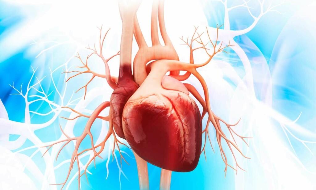 HJERTET: De store blodårene aorta og vena cava er knyttet til hjertet. Hjertet forsyner alle organer med blod. Illustrasjon: NTB Scanpix/Shutterstock