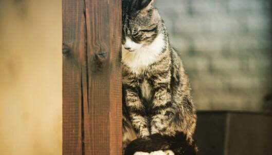 <strong>INNEKATT:</strong> Hvis katten har vært mye ute vil den trives dårligere inne. Foto: Shutterstock