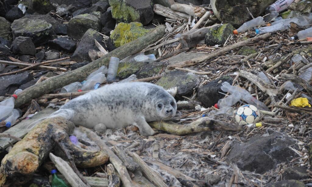 STORE MENGDER PLAST: Plast i havene er en stort problem for miljøet og dyrelivet. En ny forskningsrapport fra Storbritannia viste at samtlige av de undersøkte dyrene hadde fått i seg plast. Foto: Matt Carter/Greenpeace