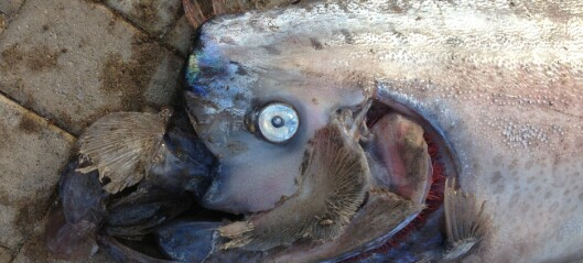 Kjempefisken skaper tsunami-frykt i Japan