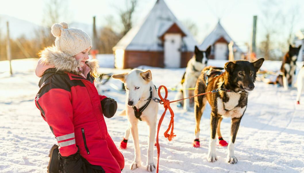 <strong>HUNDESLEDE:</strong> Flere plasser i Norge tilbyr hundesledeturer, en perfekt aktivitet for hele familien i vinterferien. FOTO: NTB Scanpix