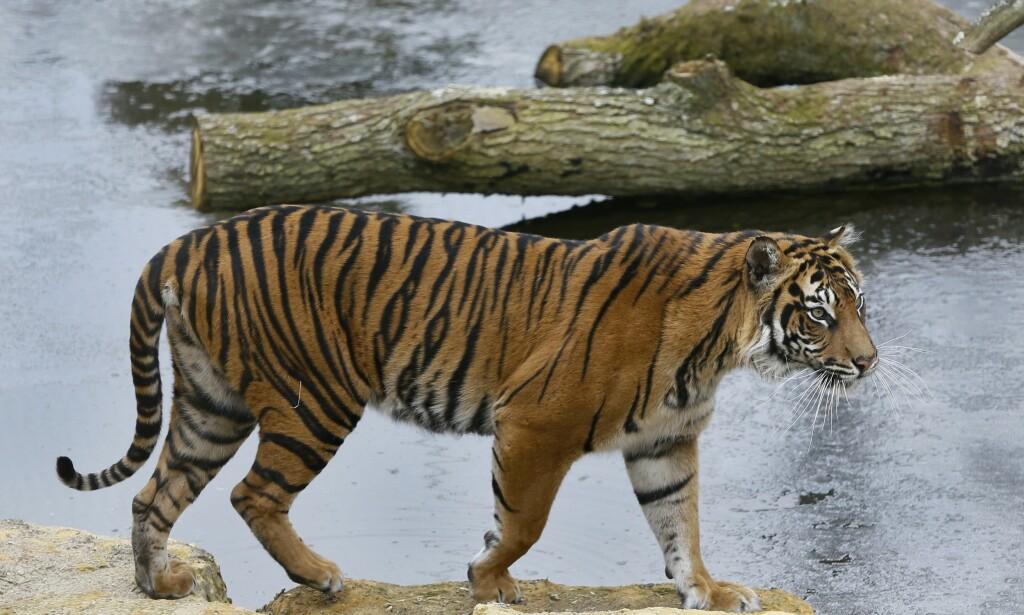 Den ti år gamle sumatratigeren Melati ble fredag drept av hanntigeren Asim, som var hentet inn for å lage nye tigere til dyreparken. Her er sumatratigeren i et arkivbilde fra 2013. Foto: Kirsty Wigglesworth/ AP / NTB scanpix