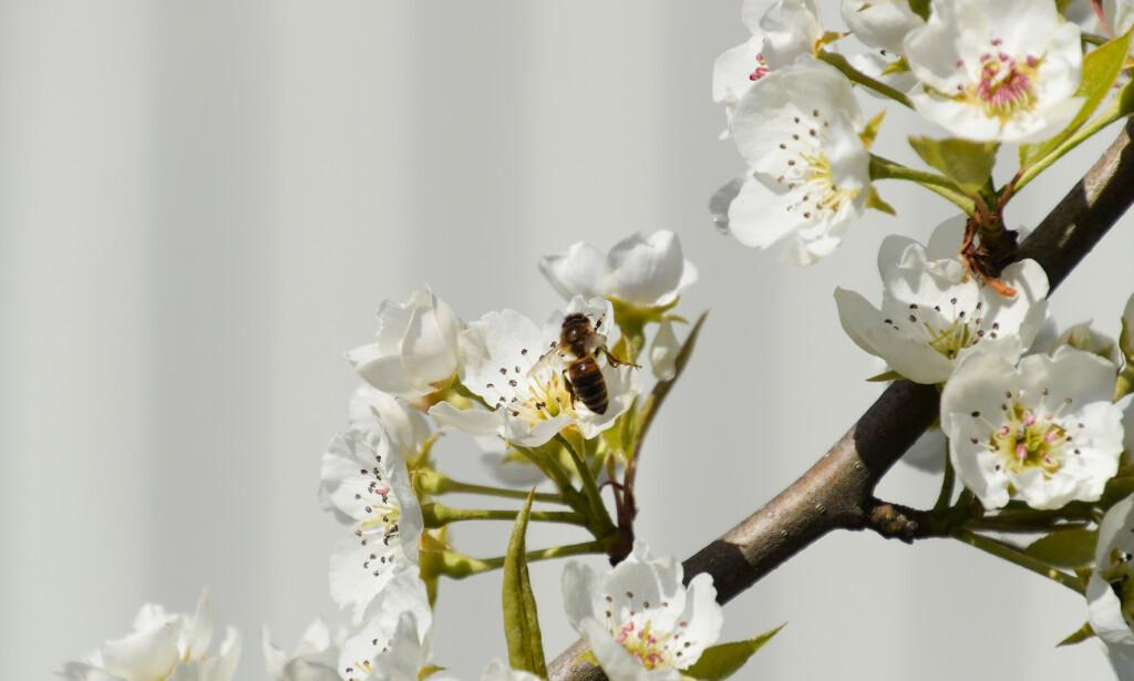 EPLER OG PÆRER: Dersom insekter blir utryddet, står produksjonen av en rekke matvarer i fare. En rekkke bie- og humlearter er essensielle i pollinering av frukt og grønnsaker. Illustrasjonsfoto: Leonid Eremeychuk / Shutterstock / Scanpix