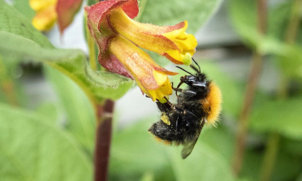 En humle i ferd med å bestøve en blomst. Svært mange planter er avhengige av insekter for å formere seg. Foto: Gorm Kallestad / NTB scanpix