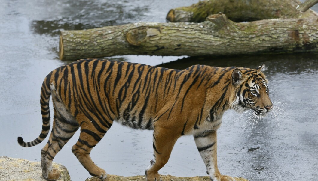 <strong>FUNNET I GARASJE:</strong> En tiger ble funnet i et lite bur i en garasje i Houston, Texas. Men hvordan den har kommet seg dit, er foreløpig uvisst. Foto: AP Photo/Kirsty Wigglesworth