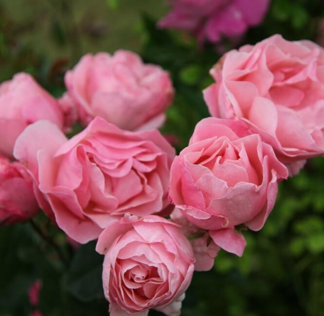 Rosen Dronning Elizabeth. Foto: RHS