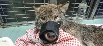 Iskald «hund» viste seg å være ulv