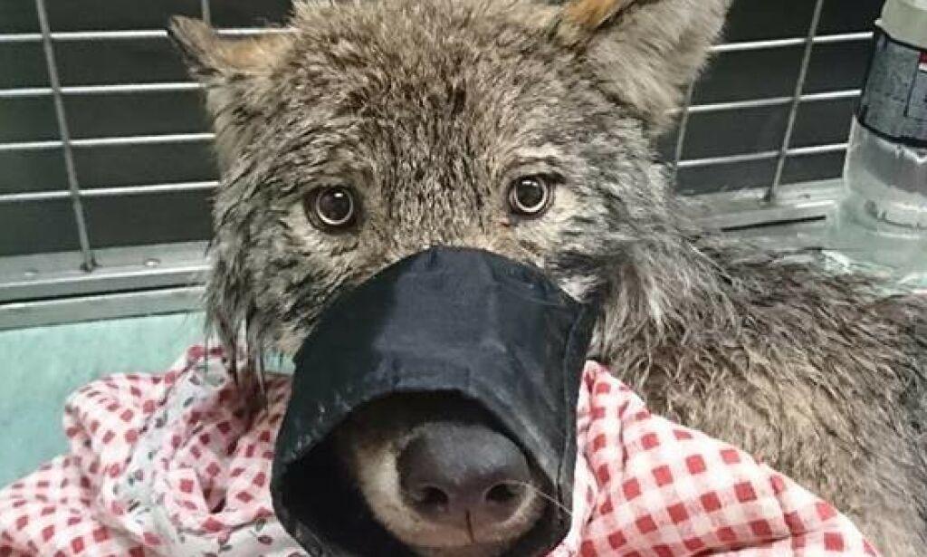 image: Iskald «hund» viste seg å være ulv