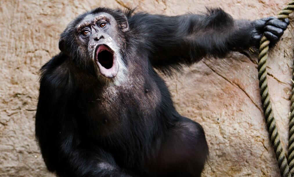 <strong>VANSKELIG LIV:</strong> Sjimpansen Julius har hatt et turbulent liv i dyreparken i Kristiansand. Foto: Agnete Brun/Dagbladet