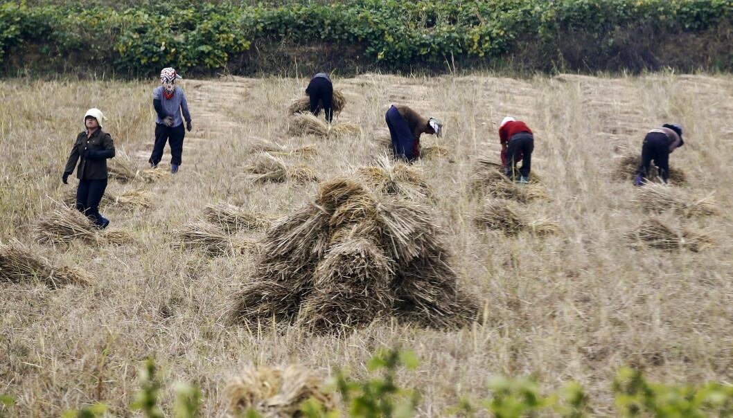 <strong>MATMANGEL:</strong> Nord-Korea hadde den dårligste innhøstingen på over ti år i 2018, ifølge FN. I fjor ble det produsert 500 000 tonn mindre mat i landet enn året før. Foto: Damir Sagolj / Reuters