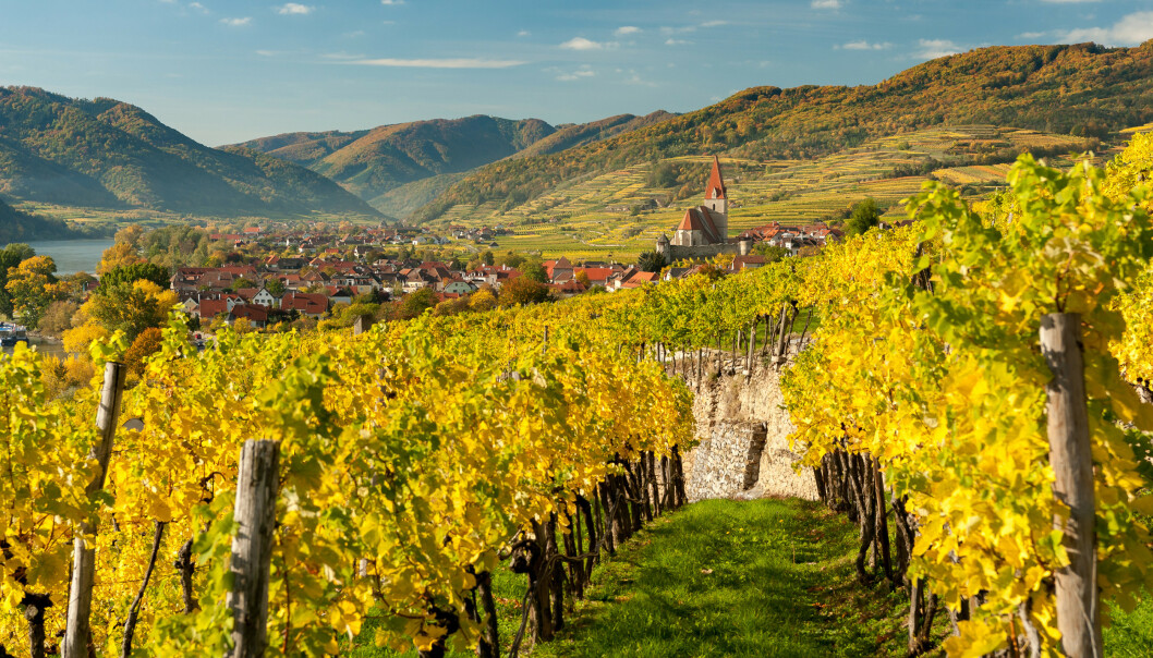 Vindruer i Wachau, Østerrike, på høsten. Foto: Shutterstock