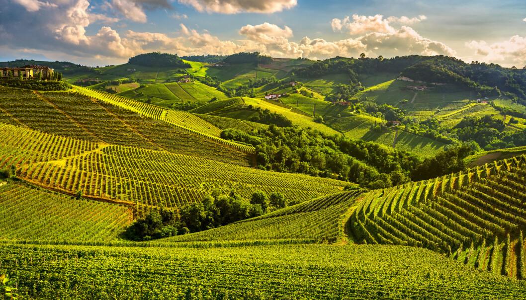 PIEMONTE: Grønne åser med vindruer så langt øyet kan se. Foto: Shutterstock