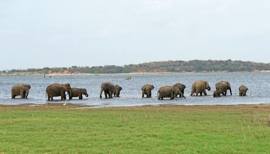 Nasjonalparken Kaudulla ligger cirka 20 mil utenfor landets største by, Colombo.