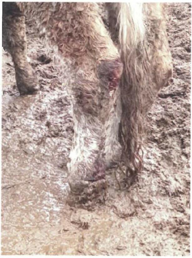 Bondens kommentar: Det er ferskt sår vi ser her. Etter 4-5 dager sendte vi inn en bilde av at såret var grodd.