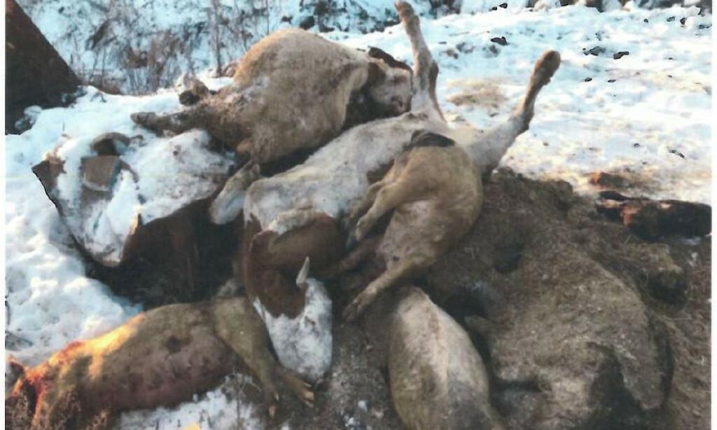 Bondens kommentar: Det ble avliva spesielt mange dyr akkurat da Mattilsynet var på besøk. Det gjorde at det hopet seg opp.
