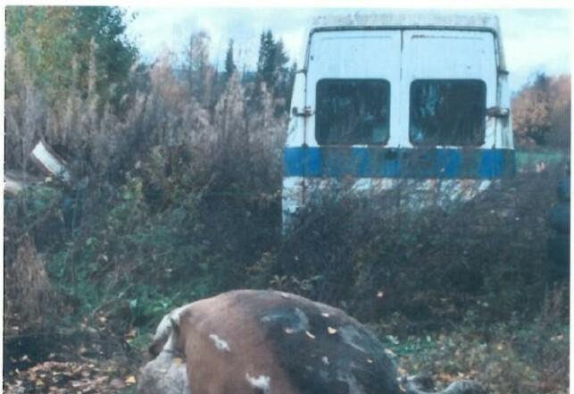 Mattilsynet reagerte på at den døde kua ikke var tildekket. Bonden forklarer at den var lagt her fordi Mattilsynet skulle ta prøver.