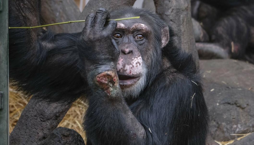 <strong>Forgiftet:</strong> Sjimpansen Julius ble alvorlig syk etter at en flaske med narkotika ble kastet inn til ham i vinterferien. Foto: Scanpix
