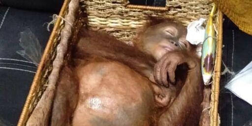 image: Hadde sovende orangutang i bagasjen