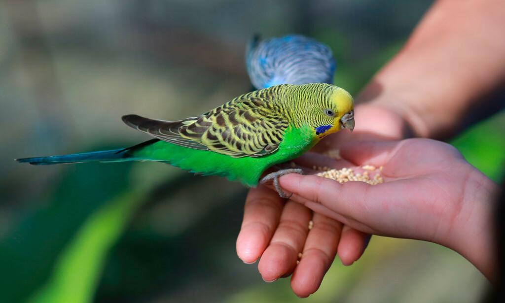 ORNITOSE: Papegøyer, undulater og parakitter, gir vanligvis mer alvorlig sykdom enn smitte fra andre fugler. Men nærkontakt er ikke spesielt risikofylt, siden sykdommen er så sjelden i Norge. Foto: NTB Scanpix/Shutterstock