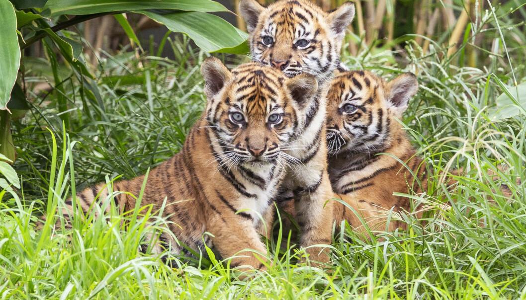 Tigerjentene Mawar og Tengah Malam og tigergutten Pemanah kom til verden i januar. Foto: Rick Stevens/Taronga Zoo Sydney via AP