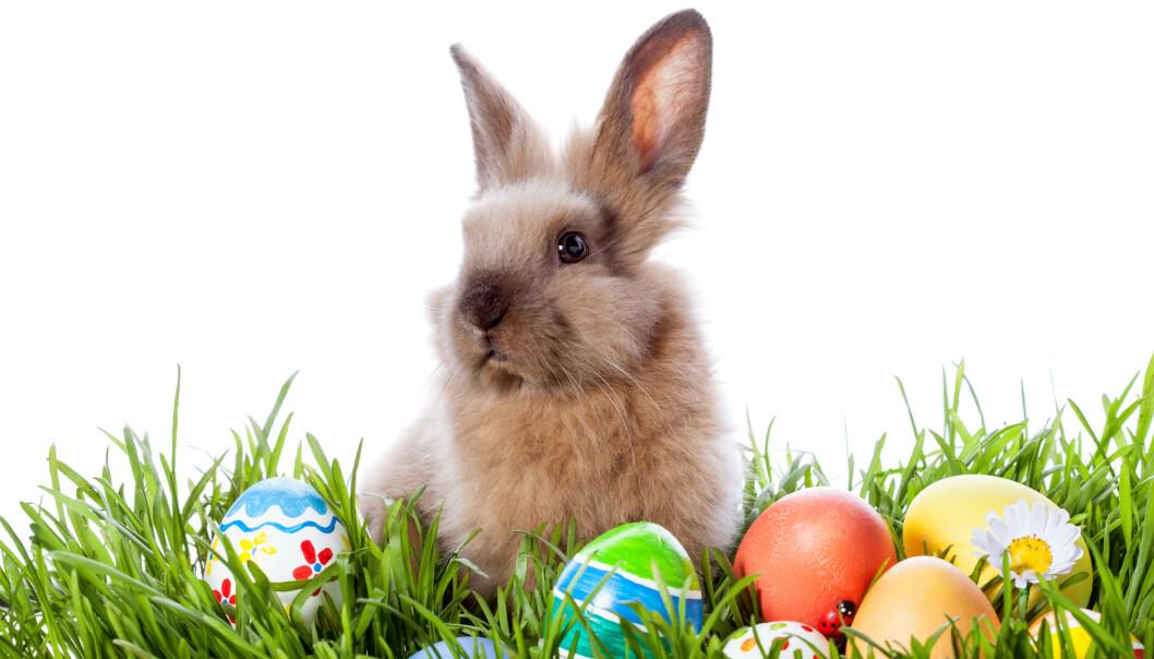 PÅSKEHARE: Hva har den egentlig med påsken å gjøre?