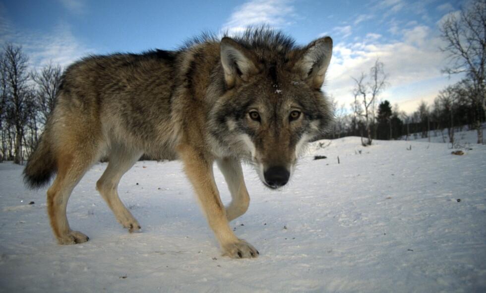 FLERE SKAL SKYTES: Lisensjakta på ulv skal forskyves fra slutten av februar og helt fram til 31. mai. Det reagerer artikkelforfatteren på. Foto: Bjørn-Owe Holmberg