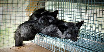 image: Paradokset: Bonden som støtter pelsproduksjon