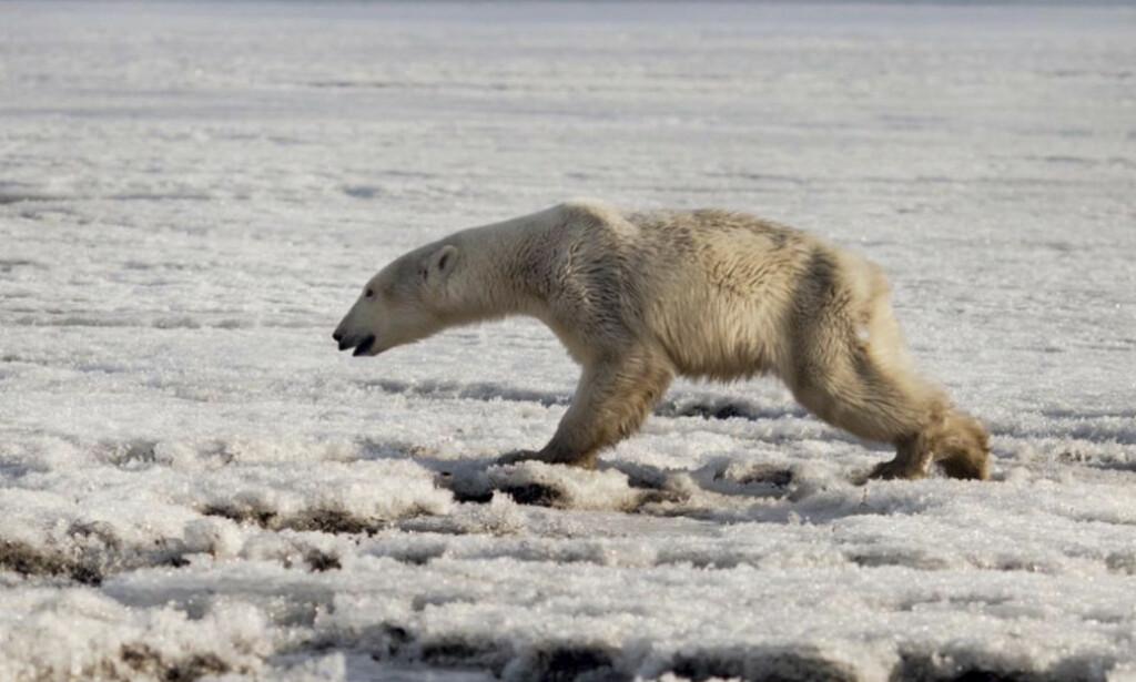 MAGER: Denne isbjørnen inntok den russiske landsbyen Tilichiki tidligere denne uka. Foto: Alina Ukolova / AP / NTB Scanpix