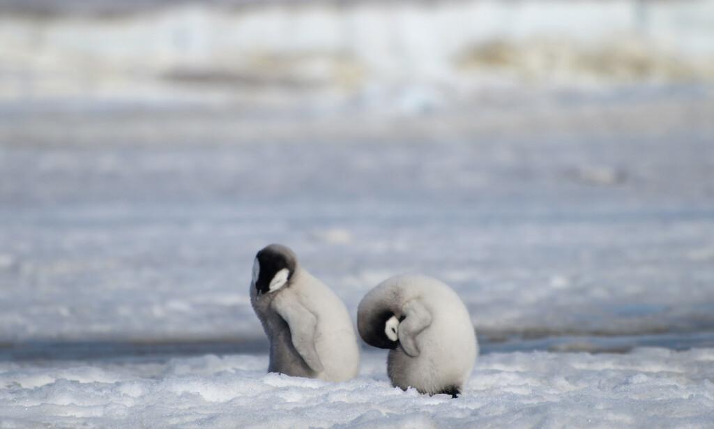 Pingvin-kyllinger ved Halley Bay i Antarktis. Mangel på is gjør at keiserpingvinene i området nesten ikke klarer å formere seg. Foto: Peter Fretwell / British Antarctic Survey / AP / NTB scanpix