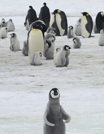 Keiserpingviner med unger ved Halley Bay i Antarktis. Det er ikke mange pingviner igjen i det som tidligere var verdens nest største koloni med keiserpingviner, ifølge forskere. Foto: Peter Fretwell / British Antarctic Survey / AP / NTB scanpix