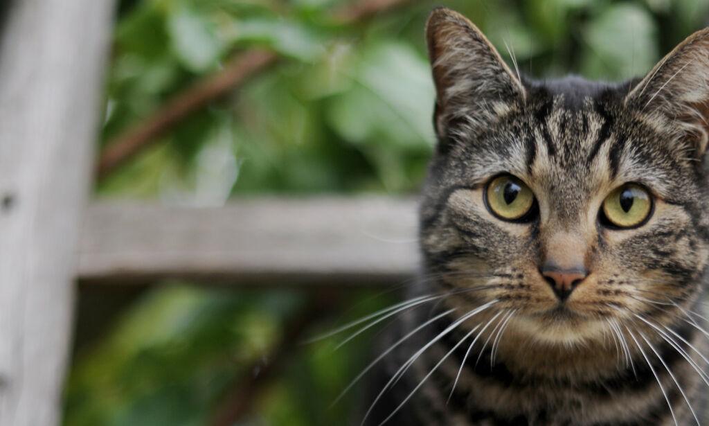 image: Australia vil avlive to millioner katter – bruker giftige pølser