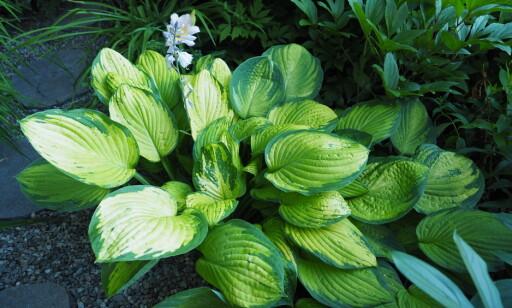 HOSTA: Flott uteplante som tåler skygge godt. Foto: Espen Skarphagen / Skarpihagen.no.