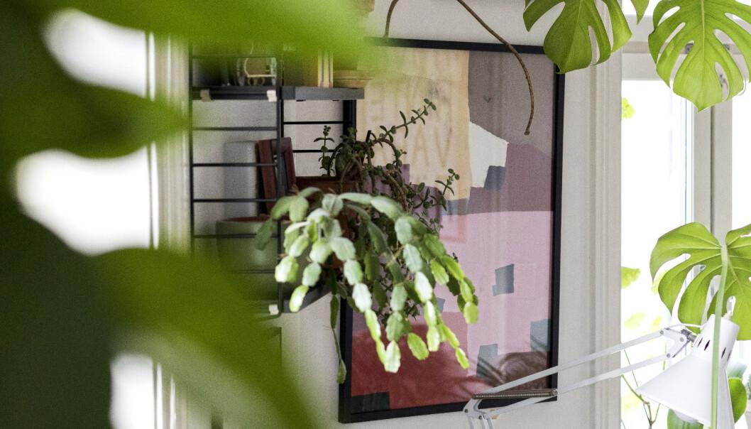 <strong>GRØNT:</strong> Den levende atmosfæren forsterkes av at leiligheten bugner av grønne planter. Rundt 80 i tallet, anslår paret. Foto: Tore Meek / NTB scanpix.
