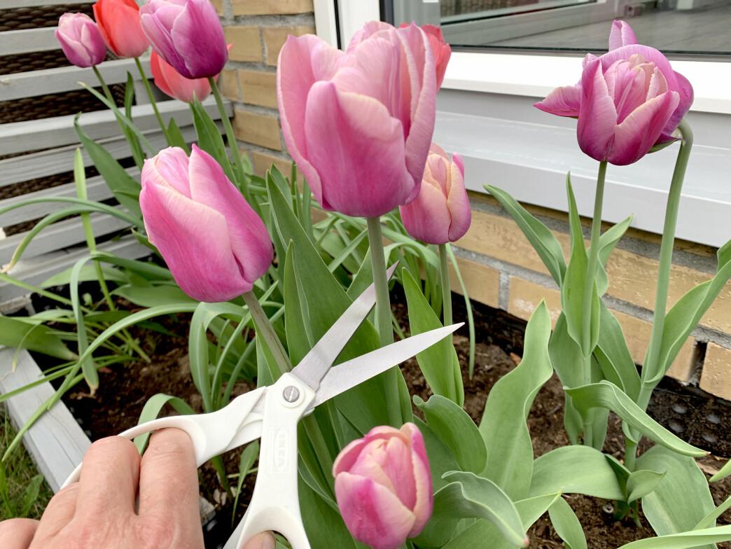 <strong>LIGG UNNA SAKSA:</strong> Skal du ta inn tulipaner eller andre løkblomster fra hagen, bør du legge igjen saksa inne. Bruk heller en skarp kniv. Foto: Kristin Sørdal