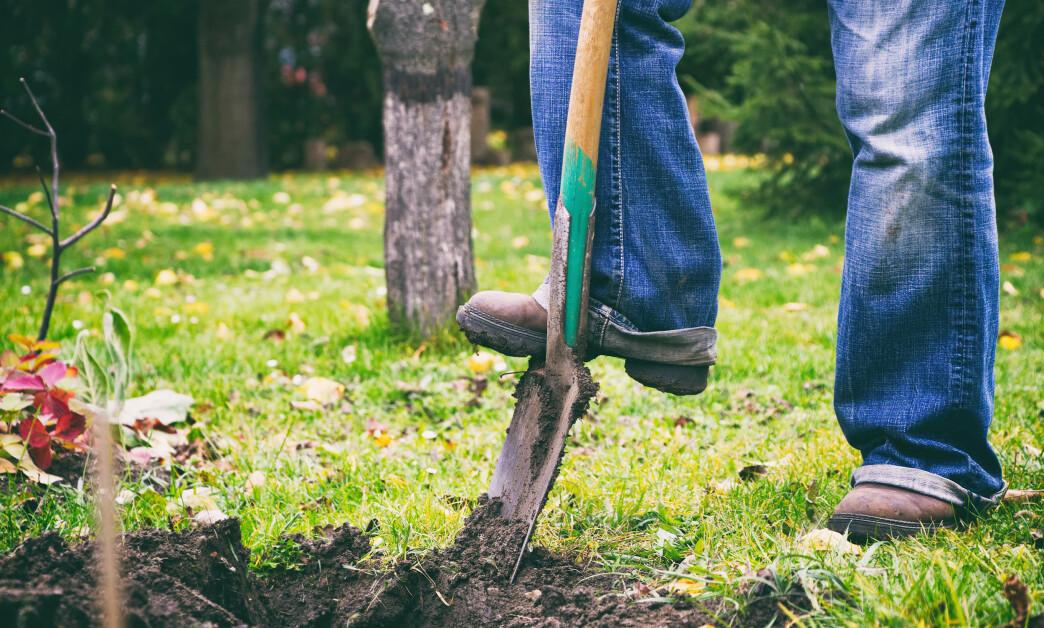 <strong>SJEKK MED SPADEN:</strong> Sliter du med å holde plenen grønn og frodig, kan du bruke spaden for å finne ut av selve årsaken til problemet. Foto: NTB Scanpix.