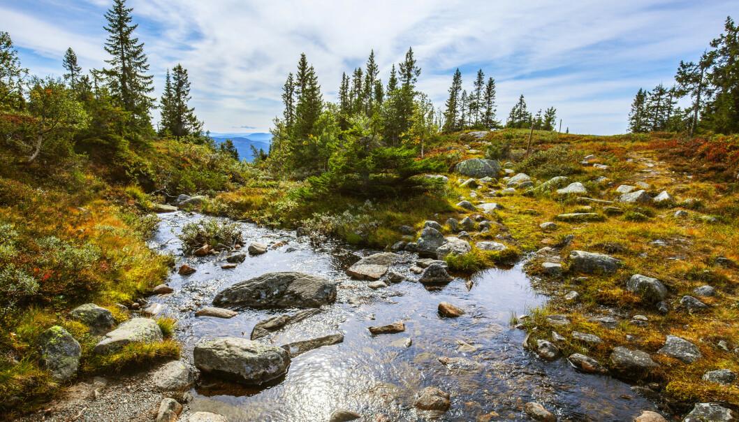 Bekker som denne, på Eggedalsfjellet i Sigdal kommune i Buskerud, er rødlistet som truet naturtype i Norge. (Foto: Halvard Alvik / NTB scanpix).