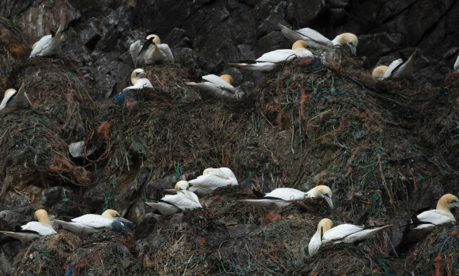 WORSHIPS: More than 500,000 birds - including puffins, porcupine, storjo and top shrubs nest on Runde every year. Photo: Roger Brendhagen
