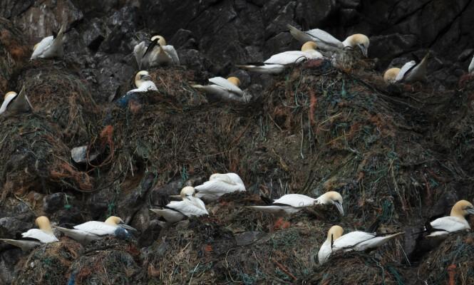 <strong>HEKKER:</strong> Mer enn 500 000 fugler - blant dem lundefugl, havsule, storjo og toppskarv hekker på Runde hvert år. Foto: Roger Brendhagen